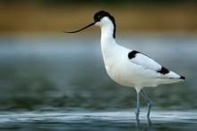 Pied Avocet - Recurvirostra Avosetta On The Lake On Migration