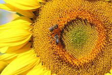 Bees On Sunflower Summer Season