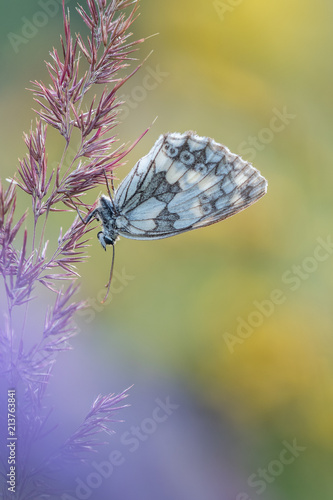 Foto op Plexiglas Vlinders in Grunge Beautiful nature scene with butterfly Marbled white (Melanargia galathea) . Macro shot of butterfly Marbled white (Melanargia galathea) on the grass.