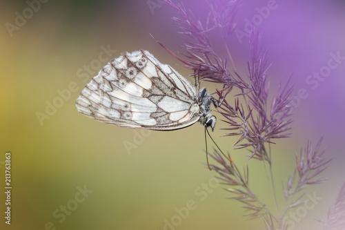 Foto op Aluminium Vlinders in Grunge Beautiful nature scene with butterfly Marbled white (Melanargia galathea) . Macro shot of butterfly Marbled white (Melanargia galathea) on the grass.