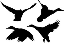 Four Silhouettes Of Ducks In Flight On White