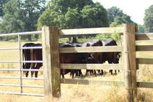 Padock Of Cattle