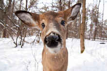 White-tailed Deer In The Winte...
