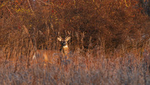 White-tailed Deer Buck In The Early Morning Light Standing In A Meadow In Autumn Rut In Canada