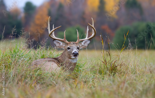 Wall Murals Deer White-tailed deer buck resting in the grass in autumn in Canada