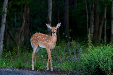 White-tailed deer fawn (Odocoileus virginianus) in the forest in Canada