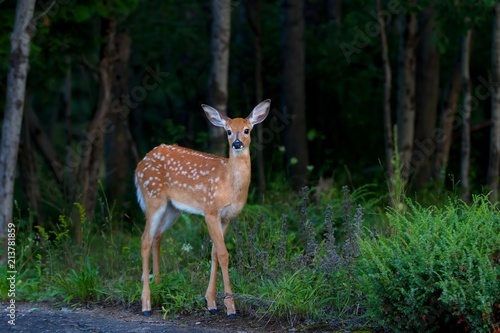 White-tailed deer fawn (Odocoileus virginianus) in the forest in Canada Wallpaper Mural