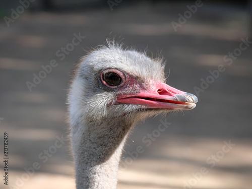 Fotobehang Struisvogel Ostrich. Zoo Bellis Deluxe Hotel. Antalya, Turkey