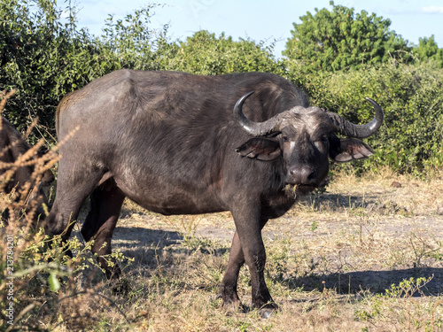 Keuken foto achterwand Buffel African Buffalo, Syncerus c.caffer, Chobe National Park, Botswana