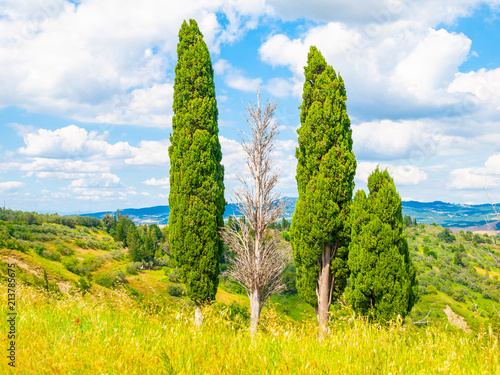 Foto  Group of cypress trees in summer landscape of Tuscany, Italia.
