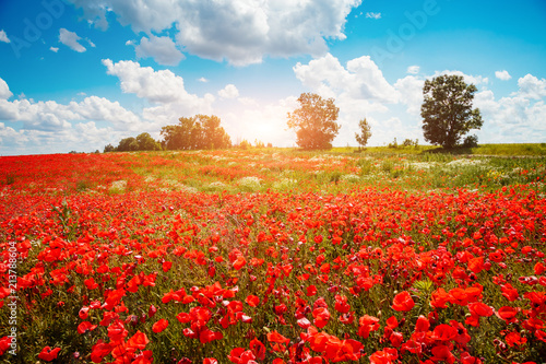 Blooming poppies on field with white fluffy clouds.