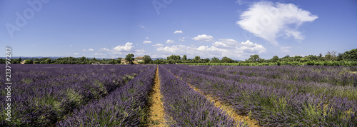 Panoramic landscape of full blooming of lavender field in Provence, South of France