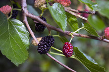 Ripe Black Mulberry Branch On The Tree