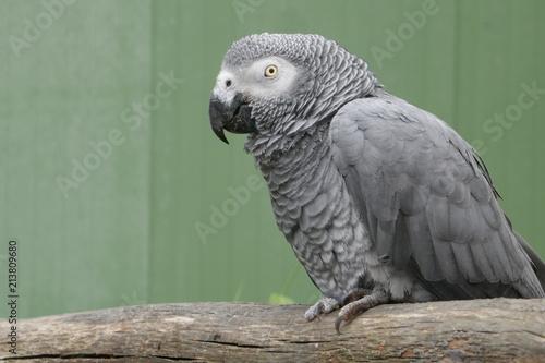 Foto op Plexiglas Papegaai Grauer Papagei (Psittacus erithacus) sitzt auf einem hölzernen Klotz, gesehen von der Seite, Nahaufnahme.Der Graupapagei ist ein Papagei aus der Familie der Psittacidae.