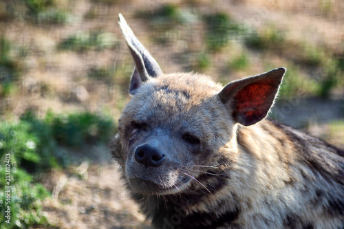 Poster Hyène Tired hyena looks into the camera. Photo portrait of a wild animal.