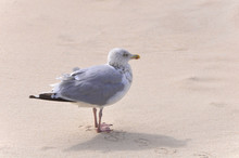 Seagull On The Beach Close Up ...