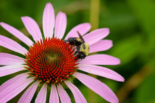 Purple Coneflower With Bumbleb...