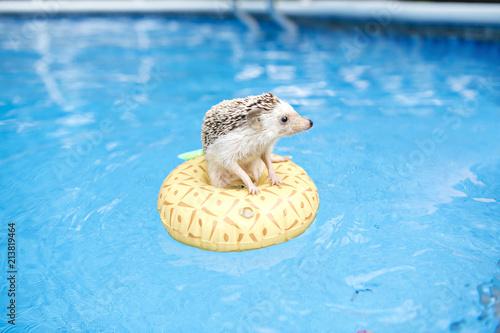 Fotografía hedgehog on floting life buoy