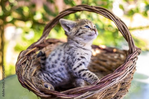 Savannah kitten F1 Poster