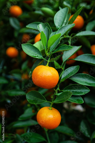 Ripe and fresh tangerines on a tree in a garden. Hue, Vietnam.