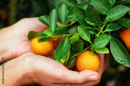 Hands of woman holding of tangerines from a tree, top view. Hue, Vietnam.