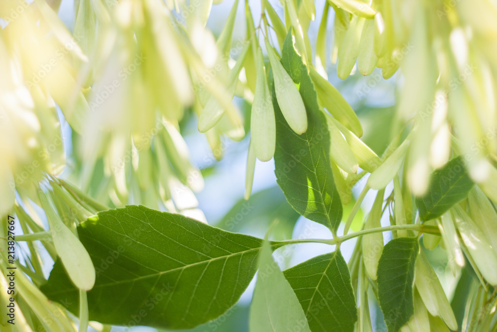 Ash tree seeds and leaves