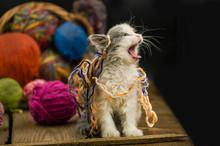 Portrait Of Cute Grey Pretty Kitten. Funny Kitten And Knitting