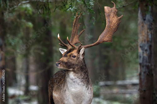 Fototapeta Great Adult Fallow Deer With Big Horns, Beautifully Turned Head. European Wildlife Landscape With Deer Stag. Portrait Of Lonely Deer With Big Antlers At Winter Pine Forest Background. Belarus obraz