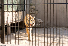 Tiger In Captivity In A Zoo Be...