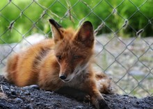 Rescued Red Fox Rests Against Fence