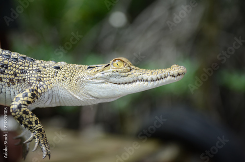 Fototapeta premium Small crocodile close-up. Jungle of Sri Lanka