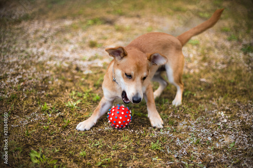 Fototapeta Bawiący się pies obraz