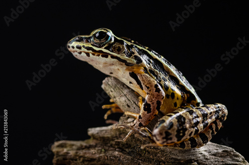 Foto op Plexiglas Kikker Close up view of a frog posing on a tree with a black background