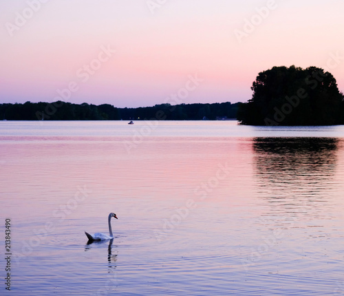 Foto op Canvas Zwaan White swan on a lake at sunset