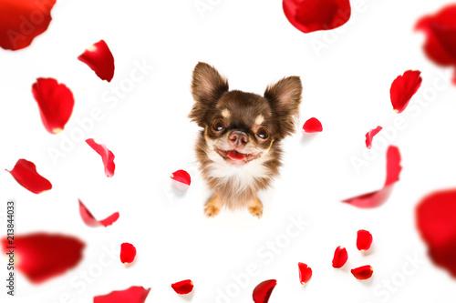 Keuken foto achterwand Crazy dog happy valentines dog