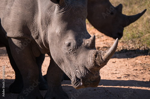 Fotobehang Neushoorn Rhino group in Kruger National Park, South Africa