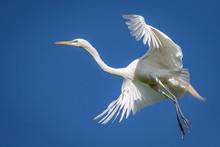 Great Egret (Ardea Alba) In Flight Over A Rookery