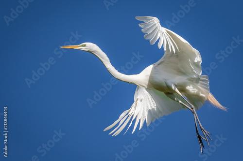 Αφίσα  Great Egret (Ardea alba) in flight over a rookery