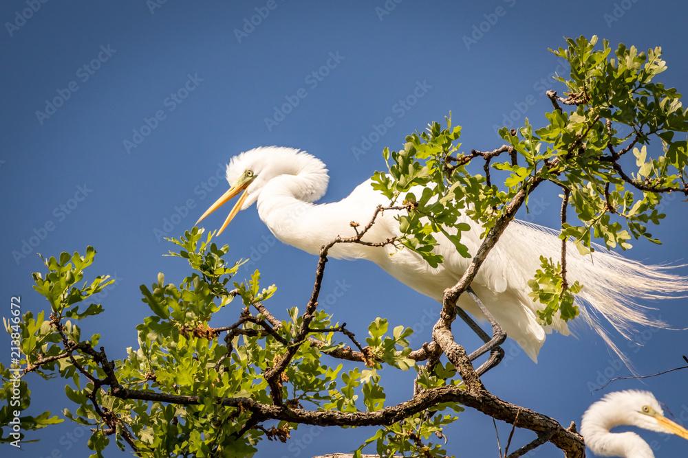 Αφίσα  Great Egret (Ardea alba) in the treetops of a breeding area