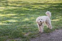 Little White Poodle Dog Standi...