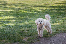 Little White Poodle Dog Standing In Green Grass