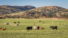 Longhorns And Buffalo Grazing In The Wichita Mountains Of Oklahoma