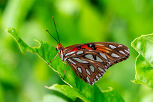 Gulf Fritillary Butterfly (Agraulis Vanillae) Closeup On Leaf - Davie, Florida, USA