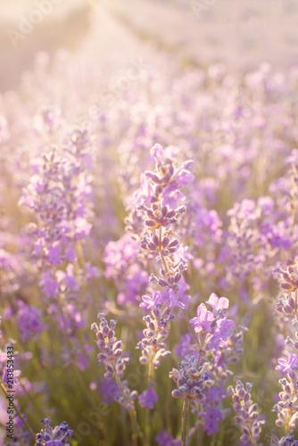 Fototapeta Soft focus of lavender flowers under the sunset light. Natural field closeup background in Provence. obraz na płótnie