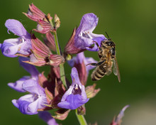 A Honeybee Feeding On The Blossoms Of Common Sage