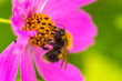 canvas print picture - hungry bee