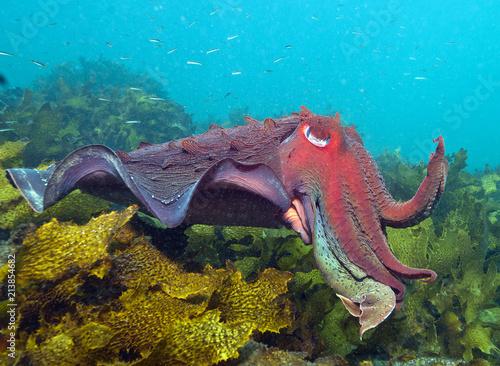 Fotografie, Obraz  Cuttlefish in kelp