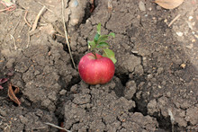 Red Ripe Apple Lying On The Gr...