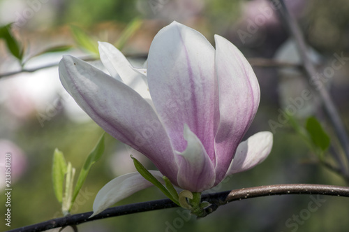 Tuinposter Magnolia Magnolia soulangeana also called saucer magnolia flowering springtime tree with beautiful pink white flower on branches