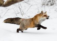 Red Fox (Vulpes Vulpes) Runs R...